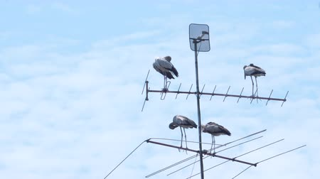 Open-billed stork grouping on top of an antenna.
