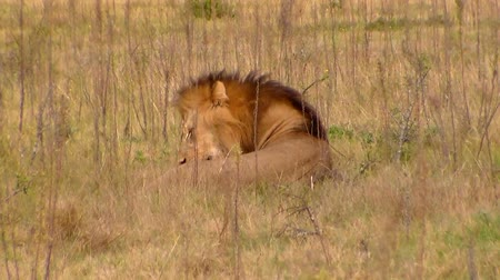 aslan : Male lion sitting and licking itself