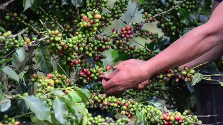 ягода : Harvesting coffee berries