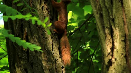 red rodent : squirrel on the tree