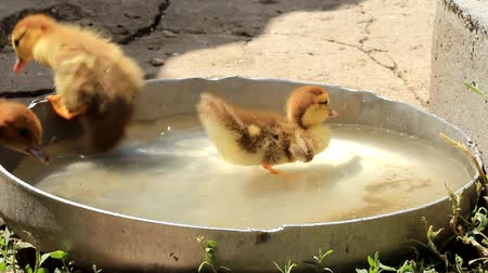 domestic animals : little ducklings drink and swim Stock Footage