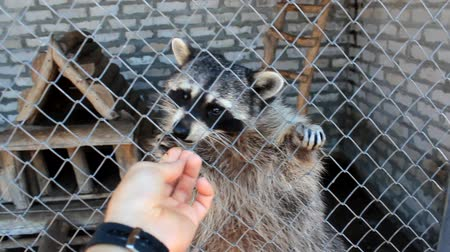 raccoon : Raccoons at the farm in summer day
