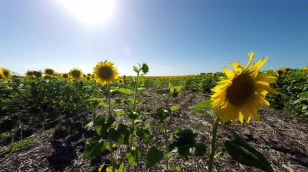 margarida : Sunflowers Field Crop UHD 4K