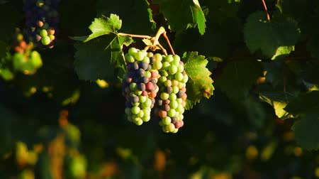 pincészet : New Wine Grapes HD