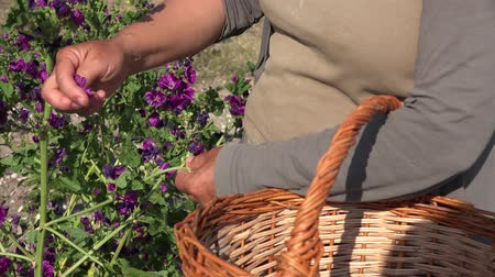 fazilet : hand harvest of purple flowers one by one