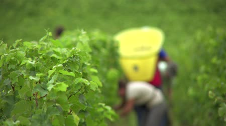 semillon : Grape pickers at work in this unfocused view Stock Footage