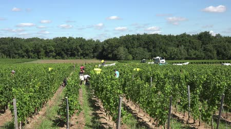 semillon : time lapse harvest in Bordeaux Stock Footage