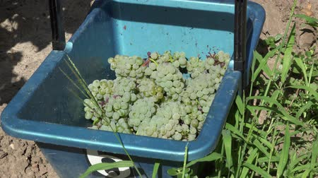 semillon : the white grapes are Deposited in a basket