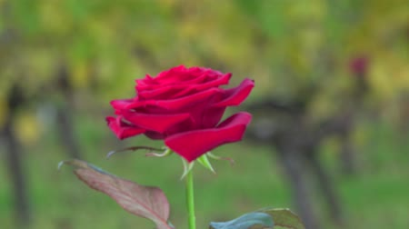yaldız : Red rose on background vineyards Stok Video