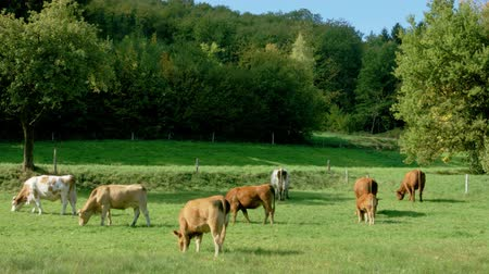 francja : Green pasturage with cows in Alsace, France. Farm animals.