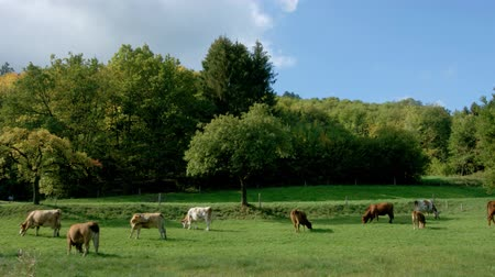 говядина : Green pasturage with cows in Alsace, France. Farm animals.