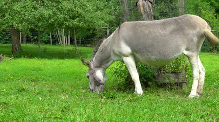 burro : Gray donkey on the green field slow motion view