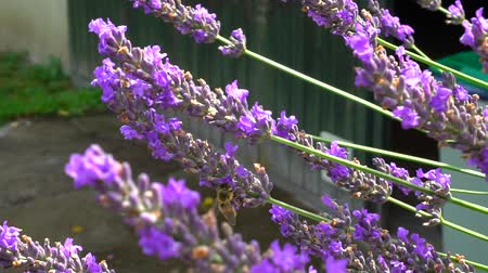 lerdo : Bumblebee and bees flying over lavender, sunny day, slow motion view of natural life Vídeos