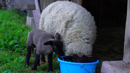 lerdo : Beautiful adorable lamb in the farm house with mother, France