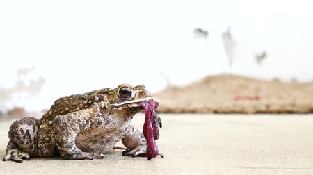 bullfrog : The way of life of a frog. The frog-eating lizard. Stock Footage