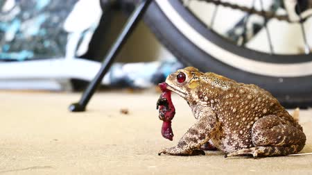 rana : The way of life of a frog. The frog-eating lizard. Stock Footage
