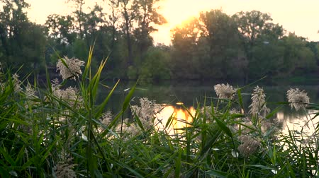 catástrofe : Landscape with reeds on first plan and warm sun through trees on river Stock Footage