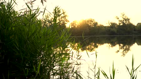 cattail : Landscape with reeds on first plan and warm sun through trees on river Stock Footage