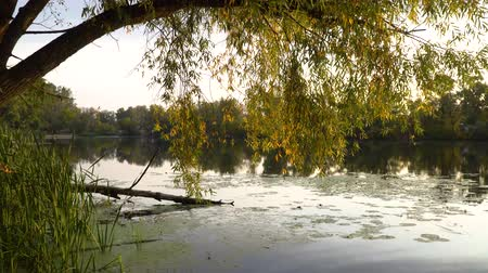 catástrofe : Yellow branches of willow hang above a river