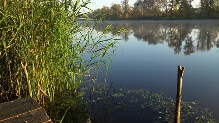cattail : Sunrise on the riverbank. Landscape with reeds and fishing rod stands