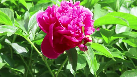 peônia : One deep purple flower of peony on light wind in sunny day on foliage background. Close-up. HD 1920x1080.