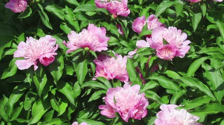 peônia : Group of pink flowers of peony on light wind in sunny day on green background. Close-up. HD 1920x1080. Vídeos