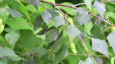 brzoza : Branch of birch tree with young green leaves on light wind. Close-up. HD 1920x1080.