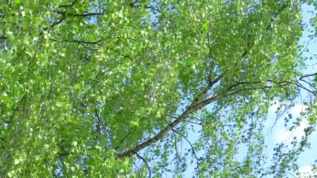 esinti : Branch of birch tree with young green leaves on blue sky background on light wind in sunny day. HD 1920x1080.