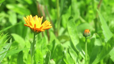 calendula blossoms : Orange flower of calendula on light wind in sunny day on green grass background. Close-up. HD 1920x1080.