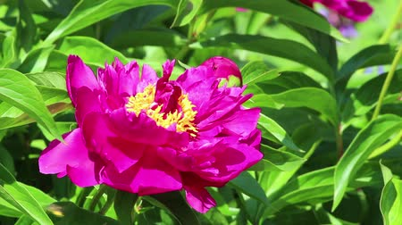 peônia : One purple flower of peony with bee on foliage background. Close-up. HD 1920x1080. Vídeos