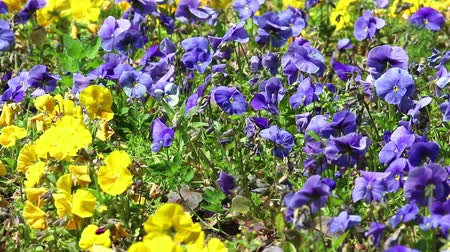 esinti : Background of violet and yellow flowers of pansy on light wind in sunny day on foliage background. HD 1920x1080.