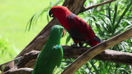 ara papagáj : The Eclectus Parrot Eclectus roratus - pair perched on a branch in Bali Bird park, Indonesia.