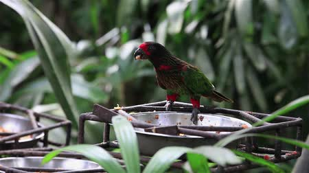 yellowish green : The Yellowish-streaked Lory Chalcopsitta sintillata, also the Streaked Lory or Yellow-streaked Lory, is a species of parrot, Psittaculidae family. Bali bird park, Indonesia.