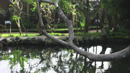 отражать : A peaceful tropical garden scene with pond and focus on a tree branch. Bali bird park, Indonesia. Стоковые видеозаписи
