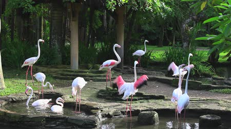 ptak : The Greater Flamingo Phoenicopterus roseus is the most widespread species of the flamingo family. Bali bird park.
