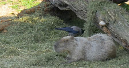 schonbrunn : The capybara Hydrochoerus hydrochaeris is the largest rodent in the world. Its closest relatives are guinea pigs and rock cavies. Schonbrunn zoo, Vienna, Austria.