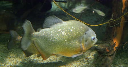 schonbrunn : The red-bellied piranha or red piranha Pygocentrus nattereri is a species of piranha native to South America, found in the Amazon River Basin, coastal rivers of northeastern Brazil. Schonbrunn zoo. Stock Footage