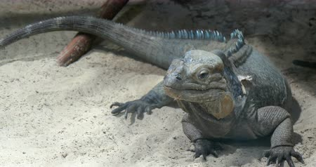 iguana : The rhinoceros iguana Cyclura cornuta is a threatened species of lizard in the family Iguanidae that is primarily found on the Caribbean island of Hispaniola. Schonbrunn zoo, Vienna, Austria. Stock Footage