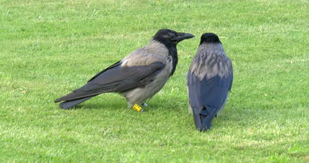 corvo : Couple of hooded crows corvus cornix sitting on the grass in beautiful Schonbrunn Palace park, Vienna, Austria.
