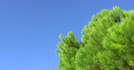 dal : Pine tree and clean blue sky with empty space as background. Stok Video