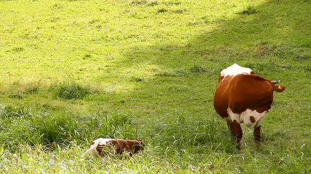 mother cow : Cow and Calf Stock Footage