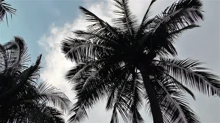 coconut palm tree : Coconut Palm Trees on Tropical Beach