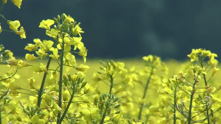 repce : 4K Flowering Rapeseed Cultivation Field Spring Stock mozgókép