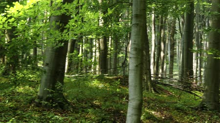 opadavý : 4K Temperate Climate Deciduous Summer Forest - Beech Trees Fagus