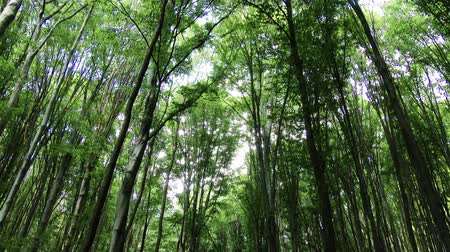 forest : 4K Temperate Climate Deciduous Summer Forest - Beech Trees Fagus