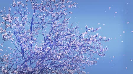 плавающий : 4K Springtime Blossoming Trees Flowers and Petals Falling real footage and cg composite Стоковые видеозаписи