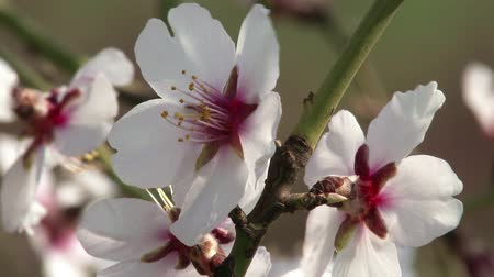 mandula : 4K Springtime Blossoming Almond Tree Flowers