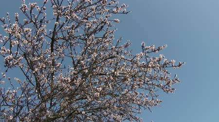 mandula : 4K Springtime Blossoming Flowers Almond Trees