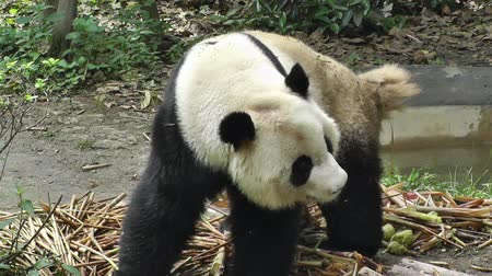 poo : Giant Panda Ailuropoda Melanoleuca in Chengdu Sichuan China, Panda diet is mostly bamboo and due to deforestation is an animal threat by extinction.