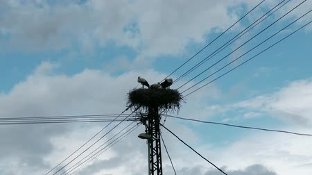 ciconiidae : 4K European White Storks Ciconia Ciconia in their nest on top of an electric pole - Migrant Long Peaked and Legged Bird
